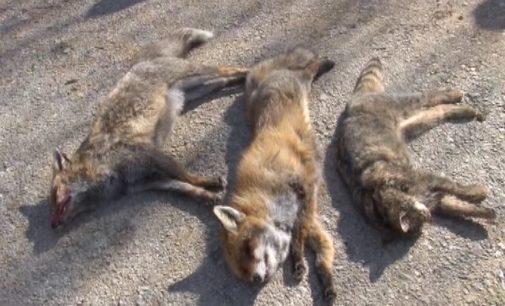 Tradicionalni pohod na kopaonickog vuka