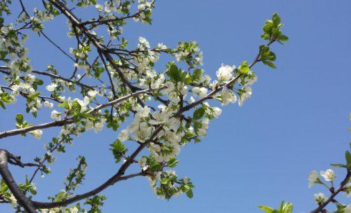 Ne prskati voće u cvatu