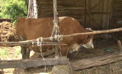 Konkurs za regresiranje troškova veštačkog osemenjavanja krava