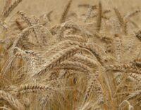 """Brusko selo – zalog za budućnost 12: """"Pšenica je od svih semena za najveće poštovanje"""""""