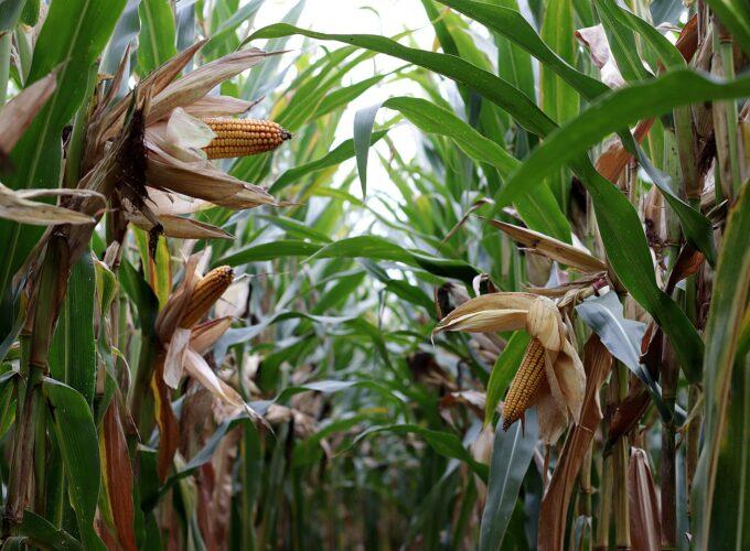 Isplata podsticaja za biljnu proizvodnju i bez podnošenja zahteva