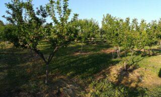 Saveti za zimske radove u voćnjaku