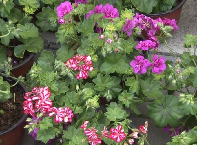 """Cvetne sadnice na dar društvu MNRL """"Pčelica"""" Brus"""